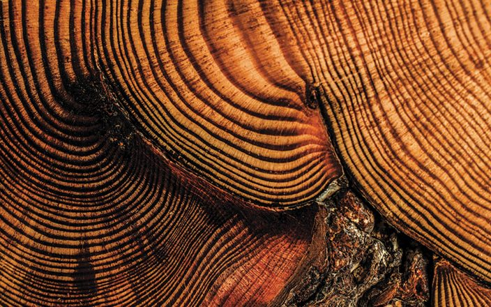 Closeup of red pine tree rings
